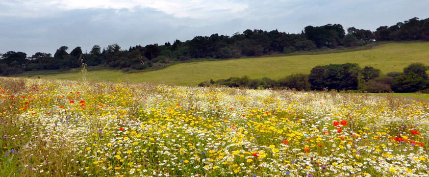 The wild flower meadow at Heligan Gardens